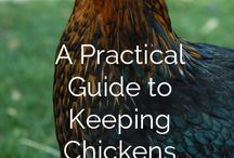 Raising chickens / by Sarah Hadcock