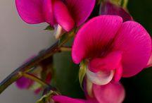 Fleurs / Pois de senteurs