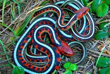Beautiful snake / Snakes are reptiles that no-legged and long bodied. Snakes have scales like a lizard and both were classified into the scaly reptiles (Squamata).