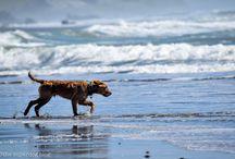 Sherlock: Diabetic Alert Dog / This is Sherlock, the Golden Retriever I'm raising and training to become a diabetic alert dog!