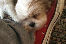 Holly lhasa-apso / Tris is Holly, my lhasa apso puppy!