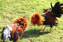 ЦЫПЛЯТА / о цыплятах