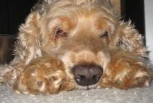My Cocker Spaniel, Claudie