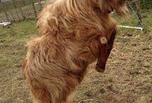 Golden Guernsey Goats / All things great about #GoldenGuernsey #Goats