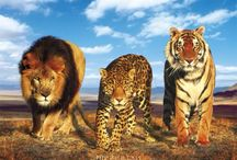 Felines & Wild Animals / All The felines and wild animals on earth