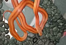 corn snake / striped