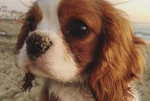 Cavalier King charles Spaniel / Dog Love - Cavalier King charles Spaniel  Puppy, puppies