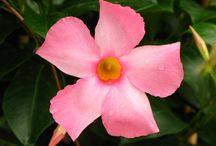Rio Dipladenia Blooms / Close up and medium photos of the beautiful Rio dipladenia blooms.