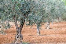 Olive Tree Legacy