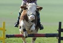 Een koe springt