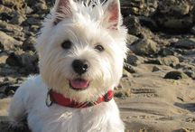 Westie Love / I grew up with a Westie. They are close to my heart & I love to see pictures of them enjoying life!