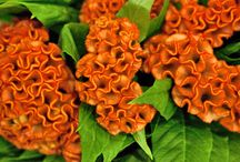 Celosia / A selection of stunning Celosia available at New Covent Garden Flower Market