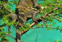 Leguaan / Leguanen op Curacao