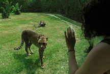 cheetah ❤❤