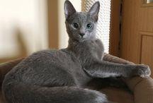 Питомник русских голубых кошек Blue Freesia