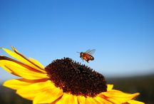 Bee / Pollinator / All bee-related visuals from all around the Planet
