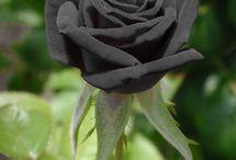 BL@CK rose...