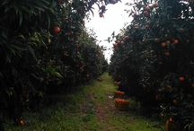 Mandarina Tour / -Accommodation -Work on plantations with locals -Lunch with local dishes -Lesson how we cultivate mandarina