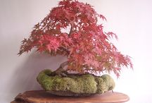 RED BONSAI  / by Scarlet