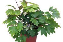 Kerti növények / Kerti növények és virágok, melyeket akár meg is rendelhetsz itt: http://www.fitoland.hu/kategoriak/cserjek_53/citrus_lemon_11838