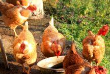 Kippen / Mijn kippen en ik