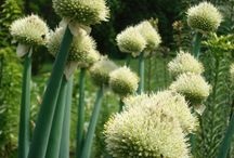 Ceapa perenă-Allium fistulosum