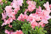 Reblooming Azaleas / Azaleas that bloom spring through fall