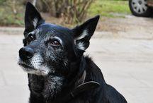 Kaja! / Kaja ma około 13 i pół roku, jest psem o bardzo przyjaznym usposobieniu zarówno dla ludzi jak i innych zwierząt. Jak mówi Marta u której Kaja znalazła dom zastępczy, najbardziej lubi się przytulać i jak nie dostanie wystarczająco dużo pieszczot danego dnia, potrafi sama się o nie domagać zaczepiając łapką. Uwielbia jeść i aportować jak szczeniaczek. Kaja jest cicha, nie ma problemu z tym, żeby zostawała sama w domu, nic nie demoluje. Tel. w sprawie adopcji:604 424 929