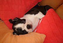 Nea / Mon boston terrier