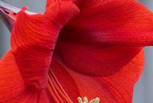 Pretty and Lovely Bulbs / Flower Bulbs , Tubers