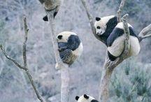 pandas most inocent