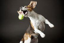 Beagle photos