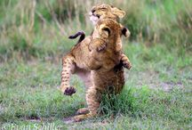Big Cats / Photos of the worlds big cats