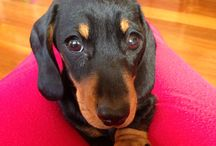 Dachshund called RUBY! / The cutest miniature dachshund ever...