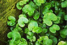 Centella Asiatica / Centella Asiatica wirkt in Calaverna Serum 04. Regenerierend, antientzündlich und antioxidativ.