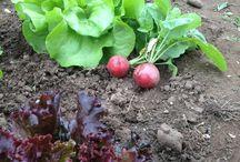 Die Erntezeit hat begonnen / Die Schülerinnen und Schüler der GemüseAckerdemie haben das erste Gemüse geerntet.