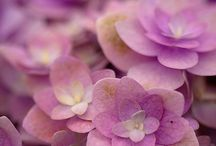 Hydrangea / by Fiona Bowtrycle