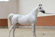 ARABIAN & AKHAL TEKE HORSE