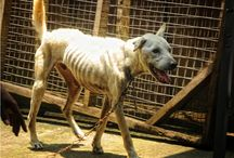 Bali Street Dogs / The Bali dog is under threat of extinction. Risks to this highly intelligent and much misunderstood dog come from daily cruelty: killing, poisoning, bashing, caging and chaining as well as interbreeding and the shocking dog meat trade. Help us to stop this!