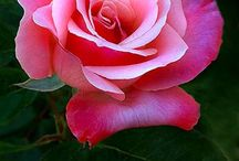 roses,Pink Rose