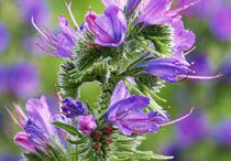 Plants for Bees / Here are some recommended plants to attract and feed the bees.