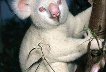 Koala - Australian Fauna