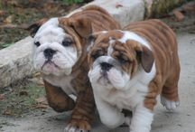 Bulldogkölykök