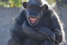 Great Apes - Chimpanzees / http://babybaboons.webnode.hu/ (Chimpanzees)
