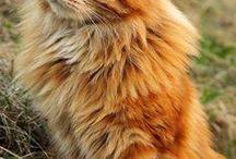 A Red Cat.