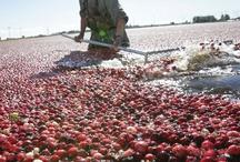 Sea of Cranberries