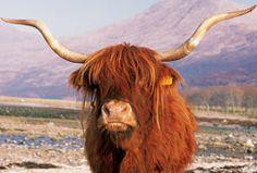 I have always loved highland cows!