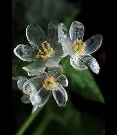 A flor encontrada em montanhas do Japão que fica transparente quando chove