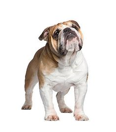 Bulldog. The bulldog has a heavy set, short legs and square proportions. It has a large head and large jaws. It's also very sturdy with a s
