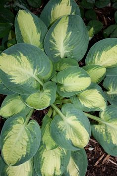 Hosta Popcorn (E. Lachman 99) Loved this plant! Disappeared. Time to get new one!